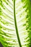 Зеленые лист диффенбахии Стоковая Фотография