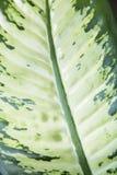 Зеленые лист диффенбахии Стоковое Изображение