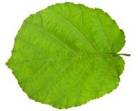 Зеленые лист карего дерева Стоковые Изображения RF