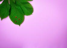 Зеленые лист каштана и деревянных ladybugs Стоковые Фото