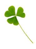 Зеленые лист клевера изолированные на белом backgroun Стоковое Изображение