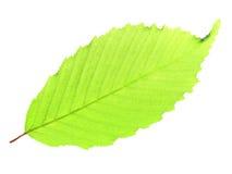 Зеленые лист на белизне изолированные на белизне Стоковые Фотографии RF