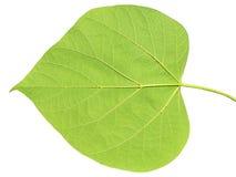 Зеленые лист на белизне изолированные на белизне Стоковая Фотография RF