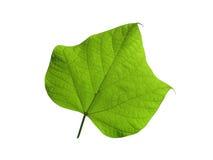 Зеленые лист на белизне изолированные на белизне Стоковое Изображение RF