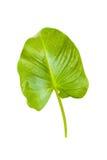 Зеленые лист на белой изолированной предпосылке Стоковые Изображения