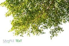 Зеленые лист на белой предпосылке Стоковое Изображение RF