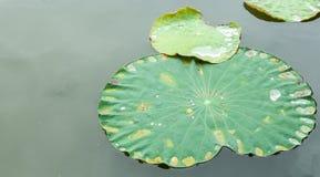 Зеленые лист лотоса с падением воды в неподвижном плоском реке используемом как шаблон Стоковое Изображение RF