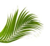 Зеленые лист пальмы на белизне Стоковое фото RF
