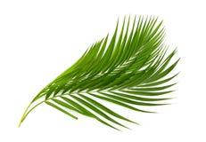 Зеленые лист пальмы на белизне Стоковое Изображение