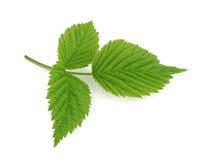 Зеленые лист поленики изолированные на белизне Стоковые Фотографии RF