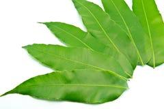 Зеленые лист приводят на белой предпосылке Стоковая Фотография RF