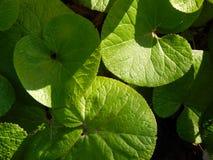 Зеленые лист пусковой площадки лилии Стоковые Фото