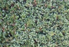 Зеленые лист сосенки Стоковая Фотография