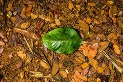 Зеленые лист среди коричневых листьев Стоковые Фотографии RF