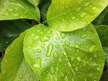 зеленые лист с водой падения Стоковые Изображения