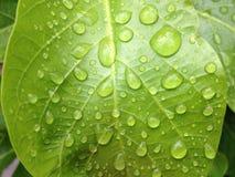 зеленые лист с водой падения Стоковые Изображения RF