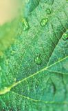Зеленые лист с капельками воды freash Стоковая Фотография