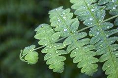 Зеленые лист с падениями воды Стоковые Фотографии RF