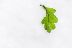 Зеленые лист дуба на снеге Стоковые Фото