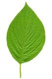 Зеленые лист Стоковые Фото