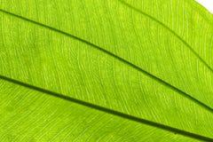 Зеленые лист Стоковое Изображение