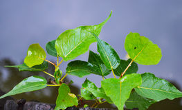 Зеленые лист bodhi на дорожке портового района Стоковая Фотография