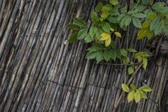 Зеленые и желтоватые листья на постаретых сухих тростниках Стоковые Фотографии RF