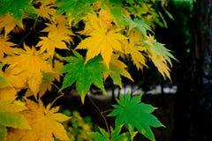 Зеленые и желтые листья падения Стоковые Фото