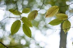 Зеленые и желтые листья autum Стоковое Фото