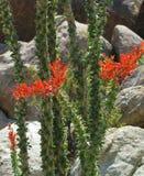 Зеленые и зацветая ветви дерева ocotillo против предпосылки белой пустыни трясут Стоковая Фотография RF
