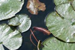 Зеленые и коричневые лилии Стоковые Изображения