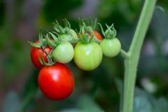 Зеленые и красные томаты Стоковое Фото