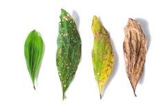 Зеленые и сухие лист вполне отверстий на белой предпосылке Стоковые Изображения