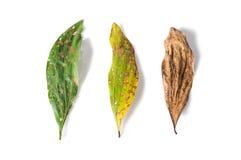 Зеленые и сухие лист вполне отверстий на белой предпосылке Стоковое фото RF
