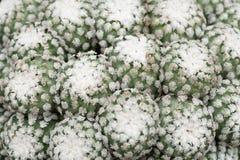 Зеленые кактусы стоковые изображения