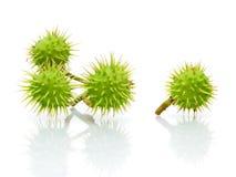 Зеленые каштаны на белой предпосылке с отражением Стоковое Изображение