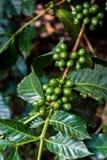 Зеленые кофейные зерна на ветви Гватемале Стоковые Изображения