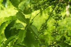 Зеленые кофейные зерна на дереве Стоковое Изображение