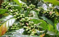 Зеленые кофейные зерна на заводе Стоковое Изображение