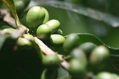 Зеленые кофейные зерна Стоковые Фото