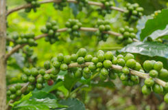 Зеленые кофейные зерна Стоковое Изображение RF