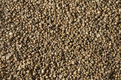 Зеленые кофейные зерна Стоковое Фото