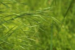 Зеленые колоски на зеленой предпосылке Стоковое Изображение RF