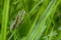 Зеленые кузнечики Стоковые Изображения