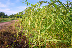 Зеленые кукурузные початки в Таиланде Стоковые Фото