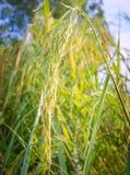 Зеленые кукурузные початки перед сбором Стоковые Изображения RF
