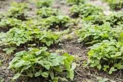 Зеленые кусты клубники Стоковое Фото