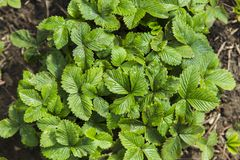 Зеленые кусты клубники Стоковые Изображения