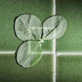 Зеленые клевера на зеленых плитках Стоковое фото RF
