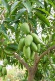 Зеленые манго на дереве Стоковое Изображение RF